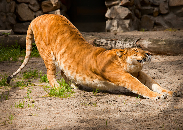 A liger, a mixture between a lion and a tiger, stretches
